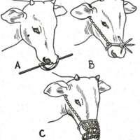 Coutumes abyssines relatives au lait de vache