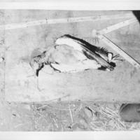 [Ethiopie ]  -( Gondar - octobre  1932) Oiseau N°  348, 353, 354