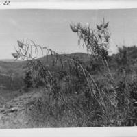 [Ethiopie ]  -( Gondar - 15 octobre  1932) Plante n° 219 botanique